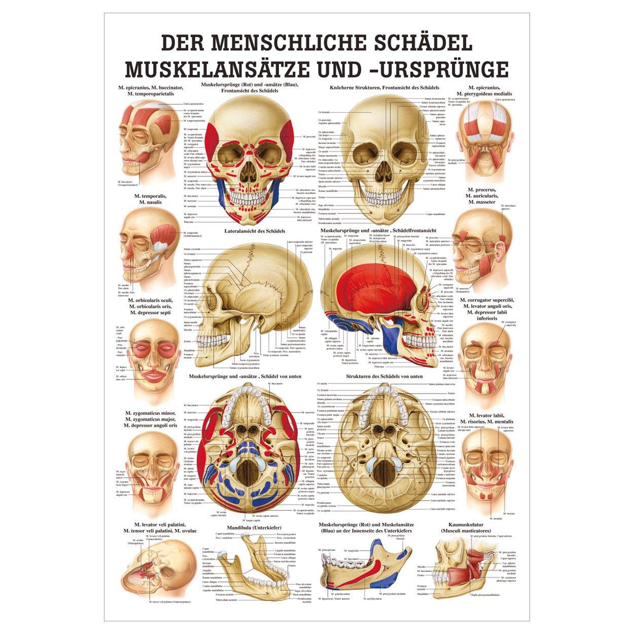 Der Schädel - Muskelansätze und Ursprünge Lehrtafel Anatomie 100x70 ...