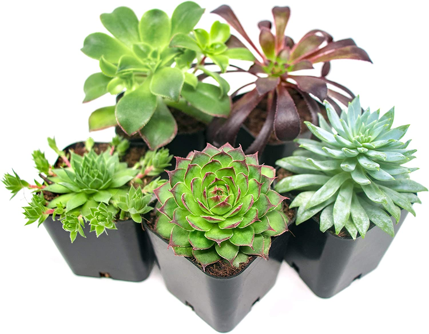 Amazon Com Succulent Plants 5 Pack Fully Rooted In Planter