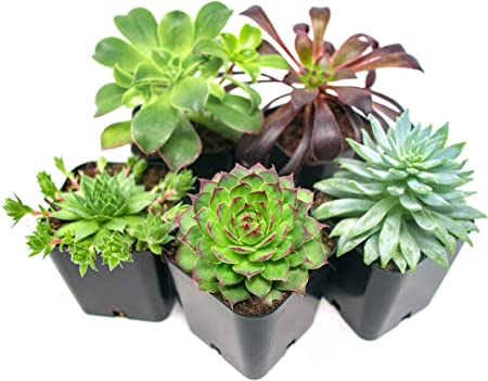 Succulent Plants Rooted In Planter Pots