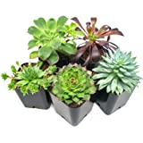 Succulent Plants (5 Pack), Fully Rooted in Planter Pots with Soil - Real Live Potted Succulents / Unique Indoor Cactus…