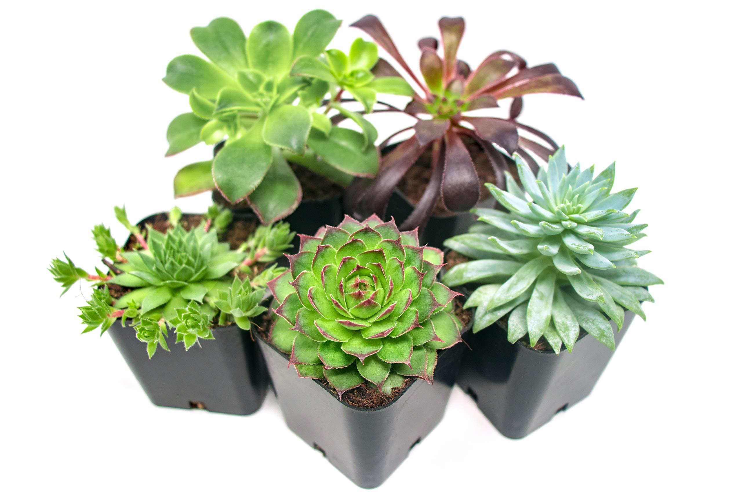 Succulent Plants (5 Pack), Fully Rooted in Planter Pots with Soil -  Real Live Potted Succulents / Unique Indoor Cactus Decor by Plants for Pets 1 HAND SELECTED: Every pack of succulents we send is hand-picked. You will receive a unique collection of species that are FULLY ROOTED IN 2 INCH POTS, which will be similar to the product photos (see photo 2 for scale). Note that we rotate our nursery stock often, so the exact species we send changes every week. THE EASIEST HOUSE PLANTS: More appealing than artificial plastic or fake faux plants, and care is a cinch. If you think you can't keep houseplants alive, you're wrong; our succulents don't require fertilizer and can be planted in a decorative pot of your choice within seconds. DIY HOME DECOR: The possibilities are only limited by your imagination; display them in a plant holder, a wall mount, a geometric glass vase, or even in a live wreath. Because of their amazingly low care requirements, they can even make the perfect desk centerpiece for your office.