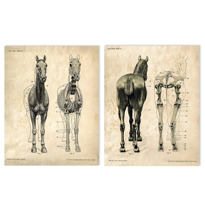Amazon 16 X 20 Vintage Animal Anatomy Horse Skeletons Two