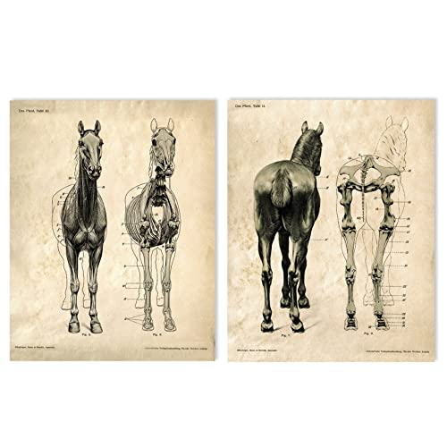 Amazon 16 X 20 Vintage Animal Anatomy Horse Skeletons Two