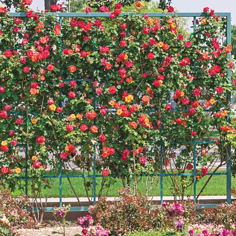 Spring Hill Nurseries - Joseph's Coat Climbing Rose, Live Bareroot Plant with Yellow/Orange/Pink Colored Flowers (1-Pack) by Spring Hill Nurseries (Image #3)