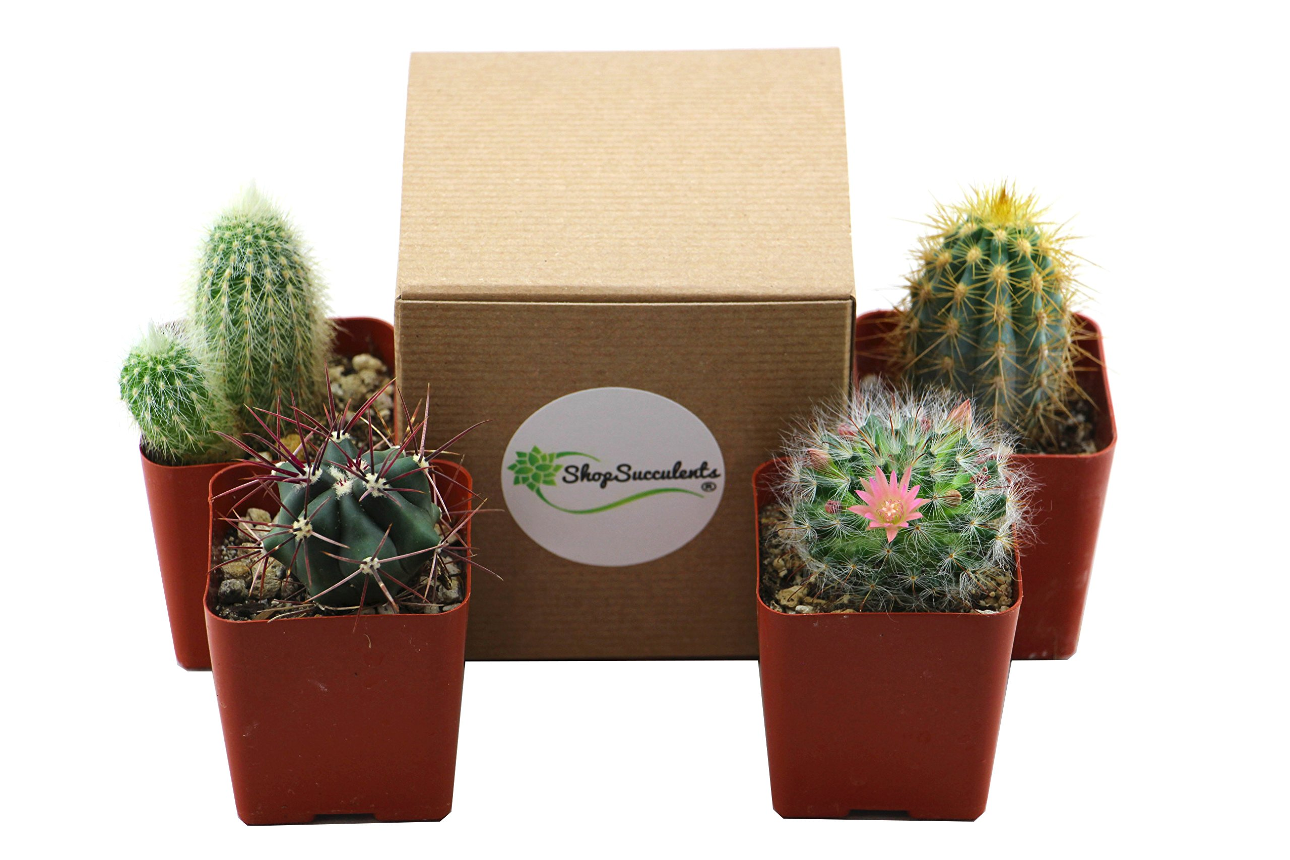 Shop Succulents Pack of Assorted 2.5'' Cactus (4)