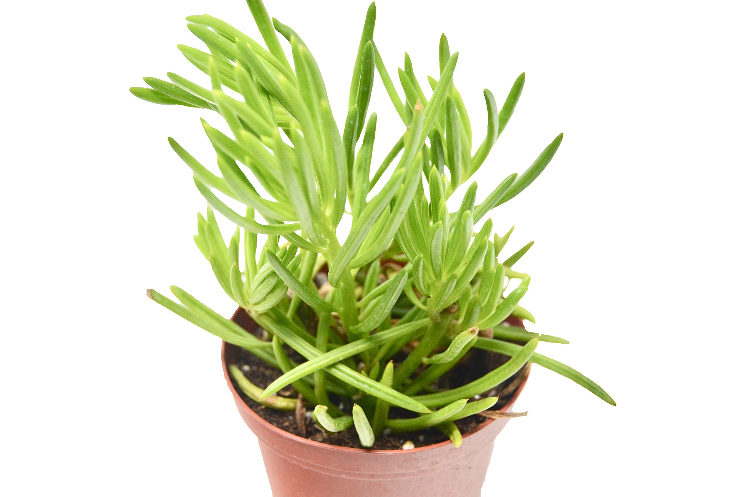 'Pencil' Succulent/4'' Pot/Live Home and Garden Plant/Free Care Guide