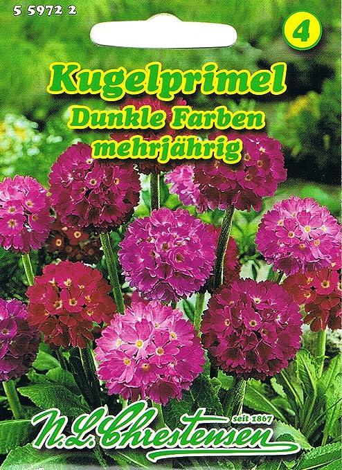 50 Samen Kugelprimel Primula denticulata lila Bio-Garten Ernte 2020