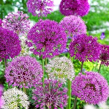 Allium mixed varieties coronaria indoor outdoor spring flowering allium mixed varieties coronaria indoor outdoor spring flowering bulbs plants 50 mightylinksfo