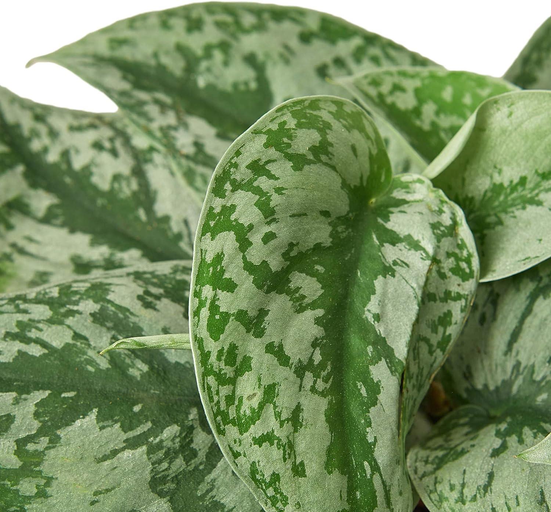 Live Indoor Plant HOUSE PLANT SHOP 6 Pot Free Care Guide Pothos Silver Splash