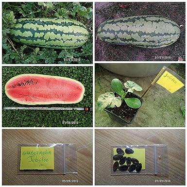 SANHOC Las semillas del paquete: ~ 10 semillas de calidad ...