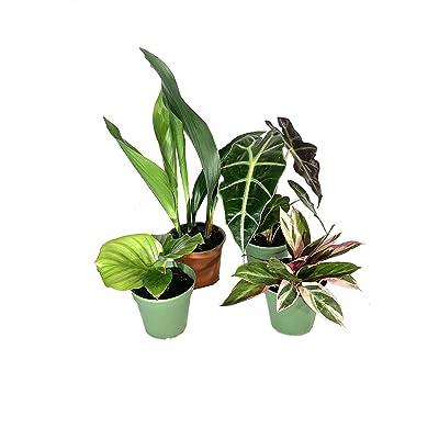 Indoor Houseplant Collection - 4 Live Plants in 4 Inch Pots - Elephant Ear Alocasia - Cast Iron - Triostar Stromanthe - Calathea Orbifolia - Beautiful Easy to Grow Air Purifying Indoor Plants : Garden & Outdoor