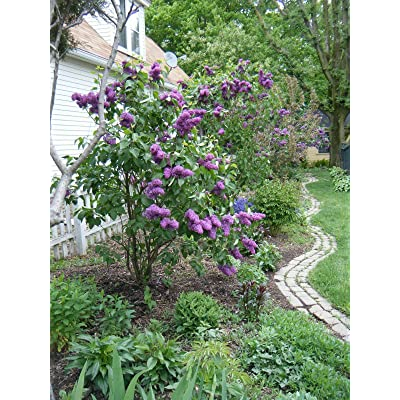 "AchmadAnam 1 Gallon, 10-14"" Old Fashioned Lilac, Syringa vulgaris : Garden & Outdoor"