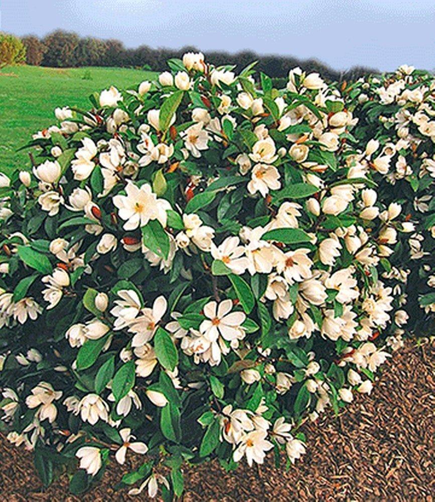 BALDUR-Garten Duft-Magnolien-HeckeFairy,1 Pflanze MicheliaFairy Magnolia/® Heckenpflanze