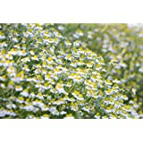 All Good Things Organic Seeds German Chamomile Seeds (~1,000 seeds): Certified Organic, Non-GMO, Heirloom Seed Packet