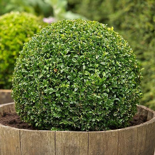 Heirloom boj, Buxus Sempervirens, 30 semillas, (Hardy Evergreen, Topiary, Seto, Bonsai): Amazon.es: Jardín