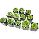 Fractal Succulents(12 Pack) Live Sempervivum Houseleek SucculentRooted in Pots | Flowering Plant Leaves /Geometric Rosettes by Plants for Pets