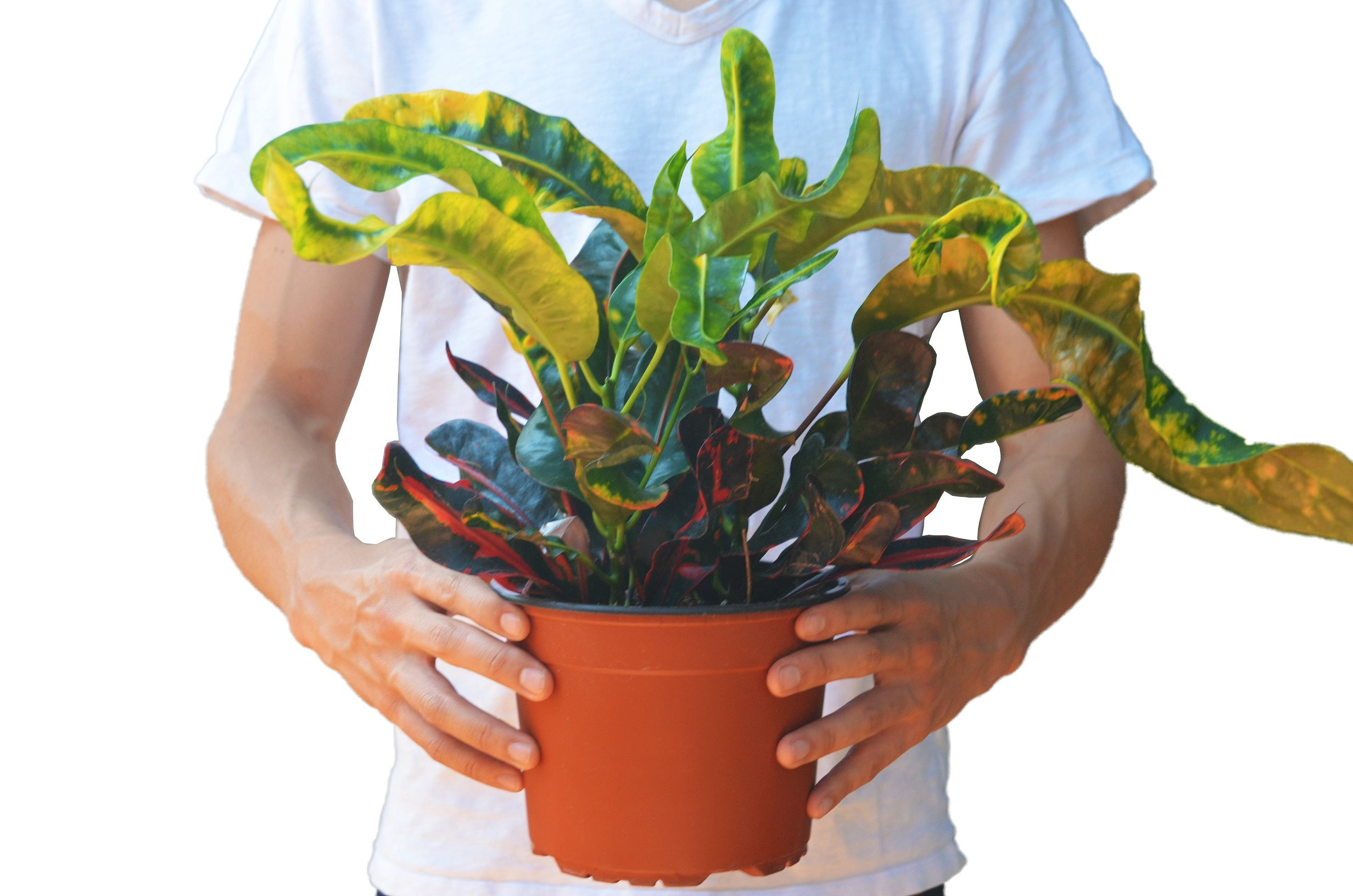 Croton Mammy in 6'' Pot/12 - 16'' Tall/FREE Care Guide/House Plant