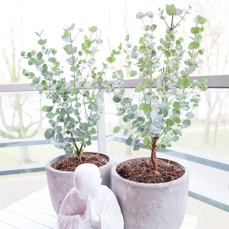 "Eucalyptus gunnii""Azura"""