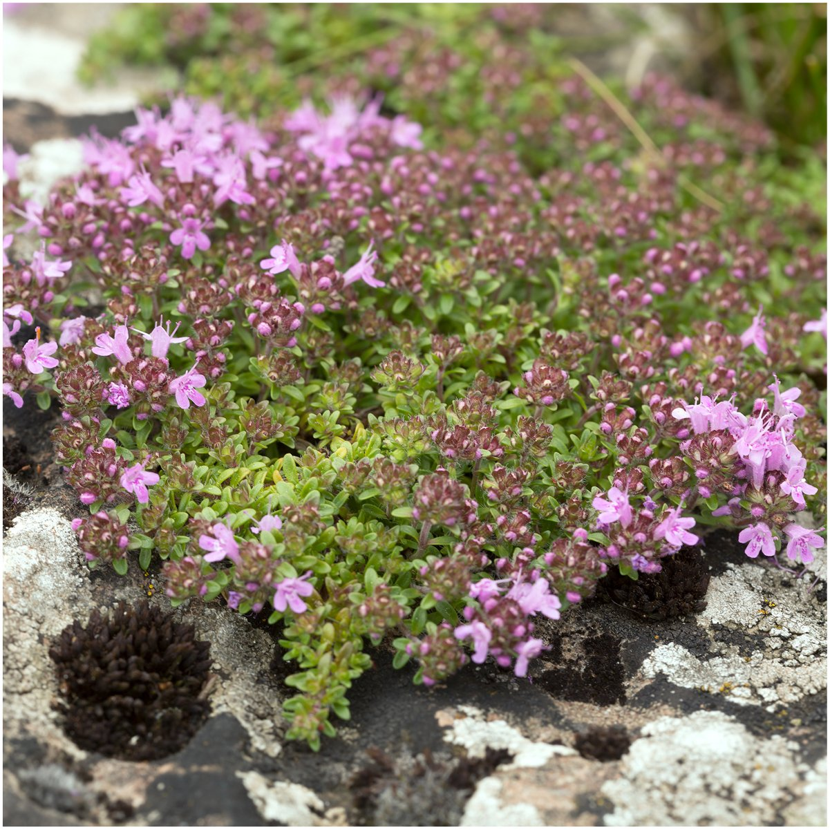 Amazon Package Of 5 000 Seeds Wild Creeping Thyme Thymus