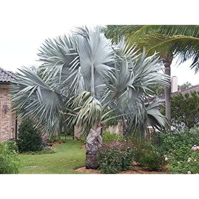 5 Bismarck Palm SeedsRareExotic Bismarckia Nobilis Giant Seeds : Garden & Outdoor