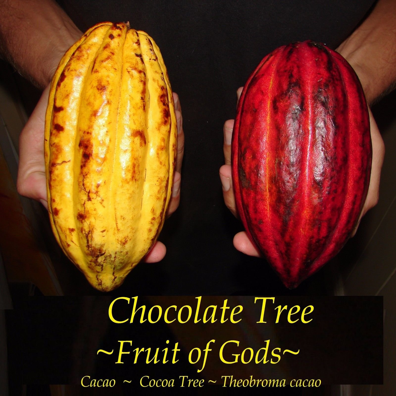 ~Chocolate Tree~ Theobroma Cacao CRIOLLO Cocoa XXLARGE Size 4+/-6ft Potted Plant