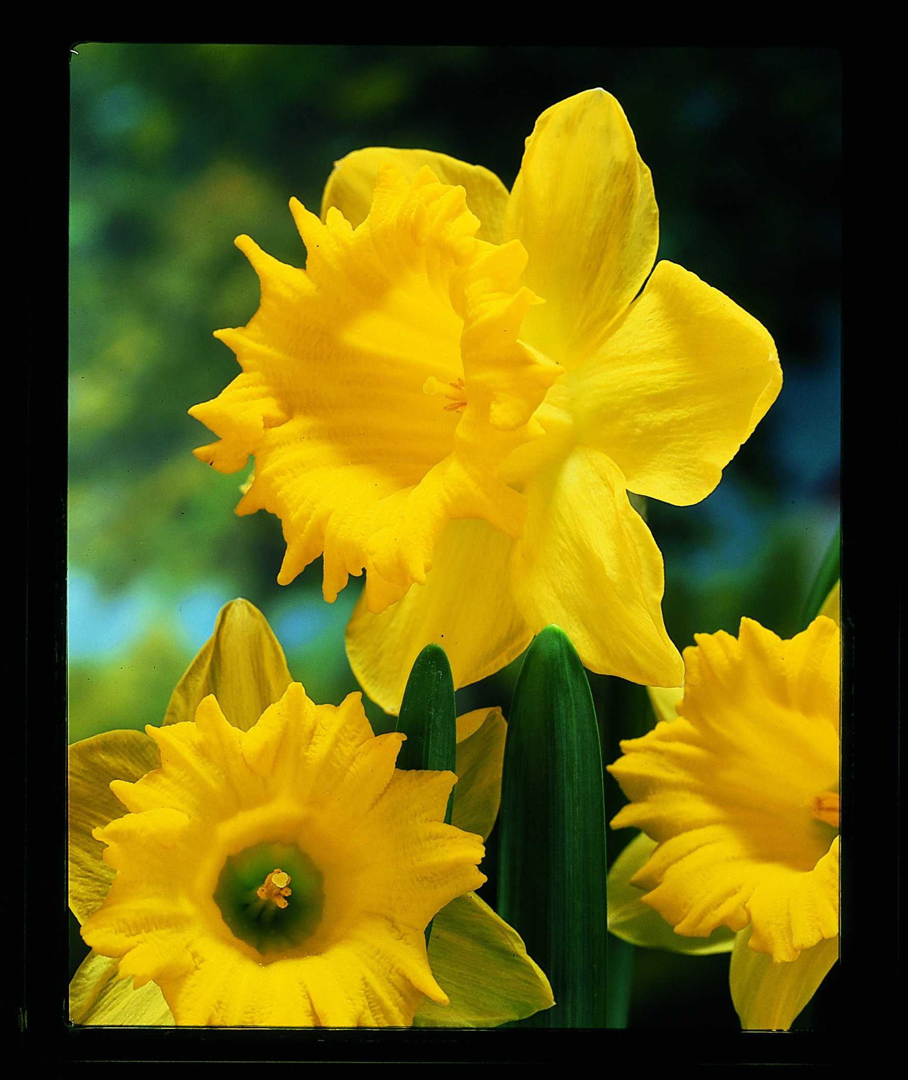 Burpee's Dutch Master Daffodil - 10 Flower Bulbs | Yellow | 14 - 16cm Bulb Diameter