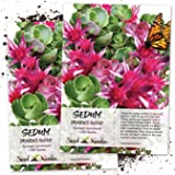 Seed Needs, Dragon's Blood Sedum (Sedum coccineum) Twin Pack of 1,000 Seeds Each