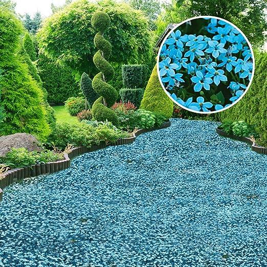 Risitar Graines – 100 jabones ecimoidos de espuma para plantas de flores, plantas tapizadas con flor, plantas vivas y resistentes al frío en rocalla, en bordes y en la pared, SVC031585_14: Amazon.es: