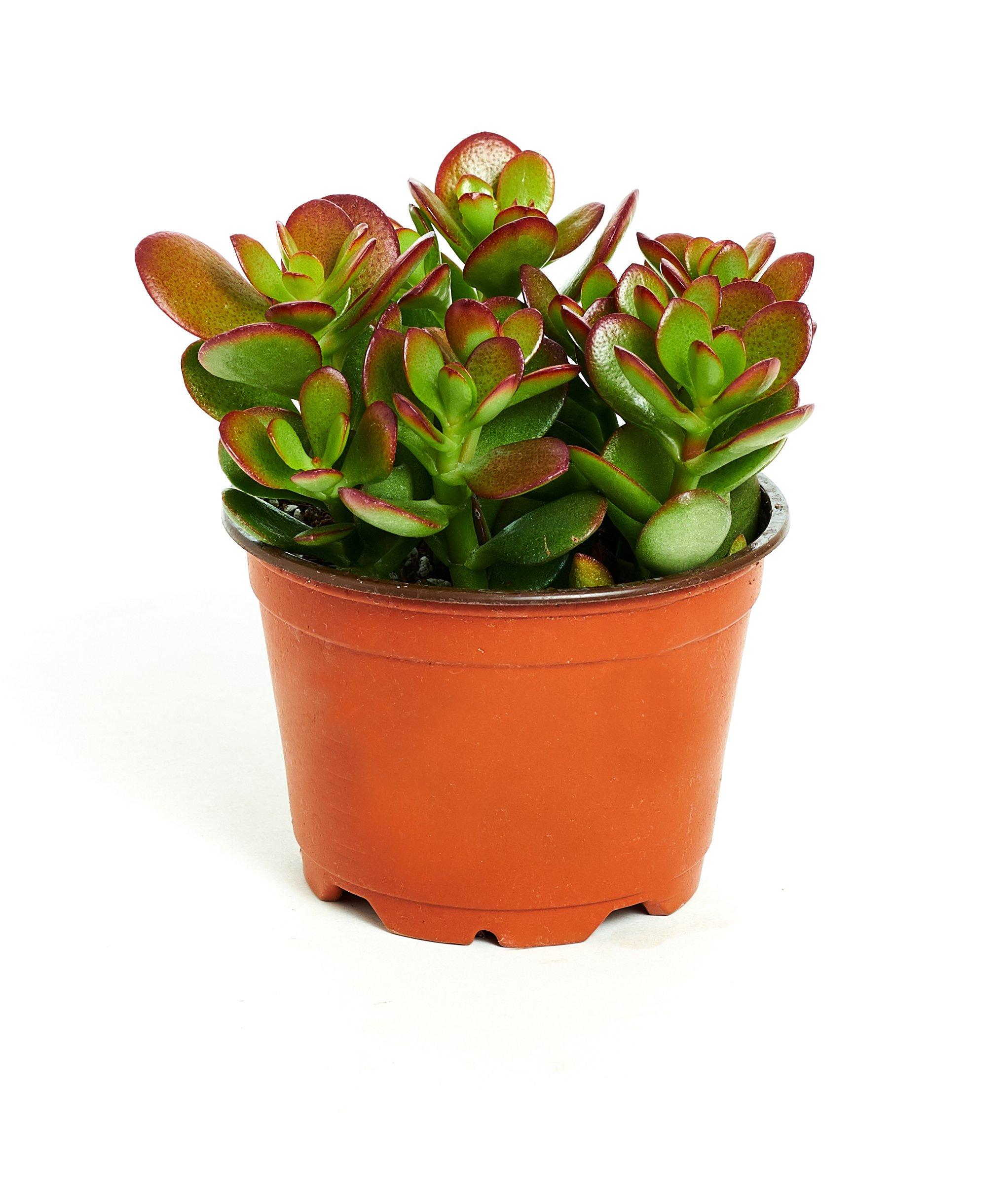 Jade Plant - Crassula ovuta - Easy to Grow - 4'' Pot