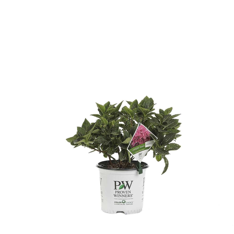 1 Gal. Cityline Venice Bigleaf Hydrangea (Macrophylla) leben Shrub, Pink, Blue und Green Flowers