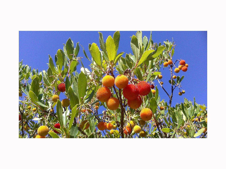 bee plant and flowering shrub frut tree STRAWBERRY TREE Arbutus unedo plant, 6-8cm tal seedling plant Tree Online Nursery