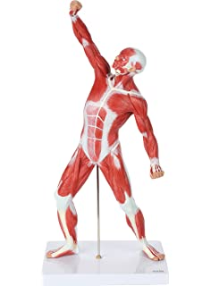 3B Scientific M20 9 Part, 3/4 Life Size Muscle Leg Model, 10.2 ...