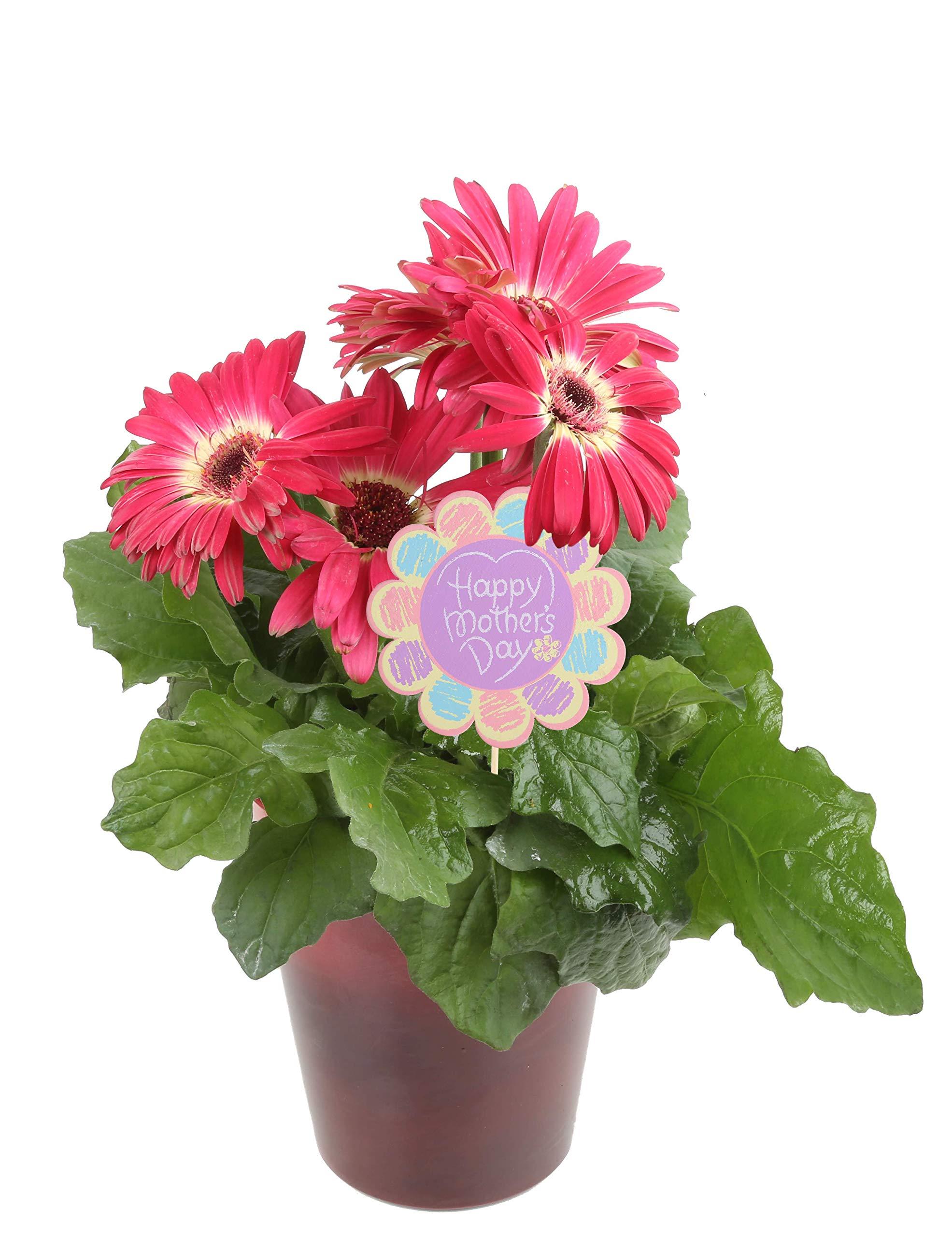 Costa Farms Gerbera, Transvaal Daisy Live Outdoor Plant 1 QT Décor Pot, Excellent Gift, Pink