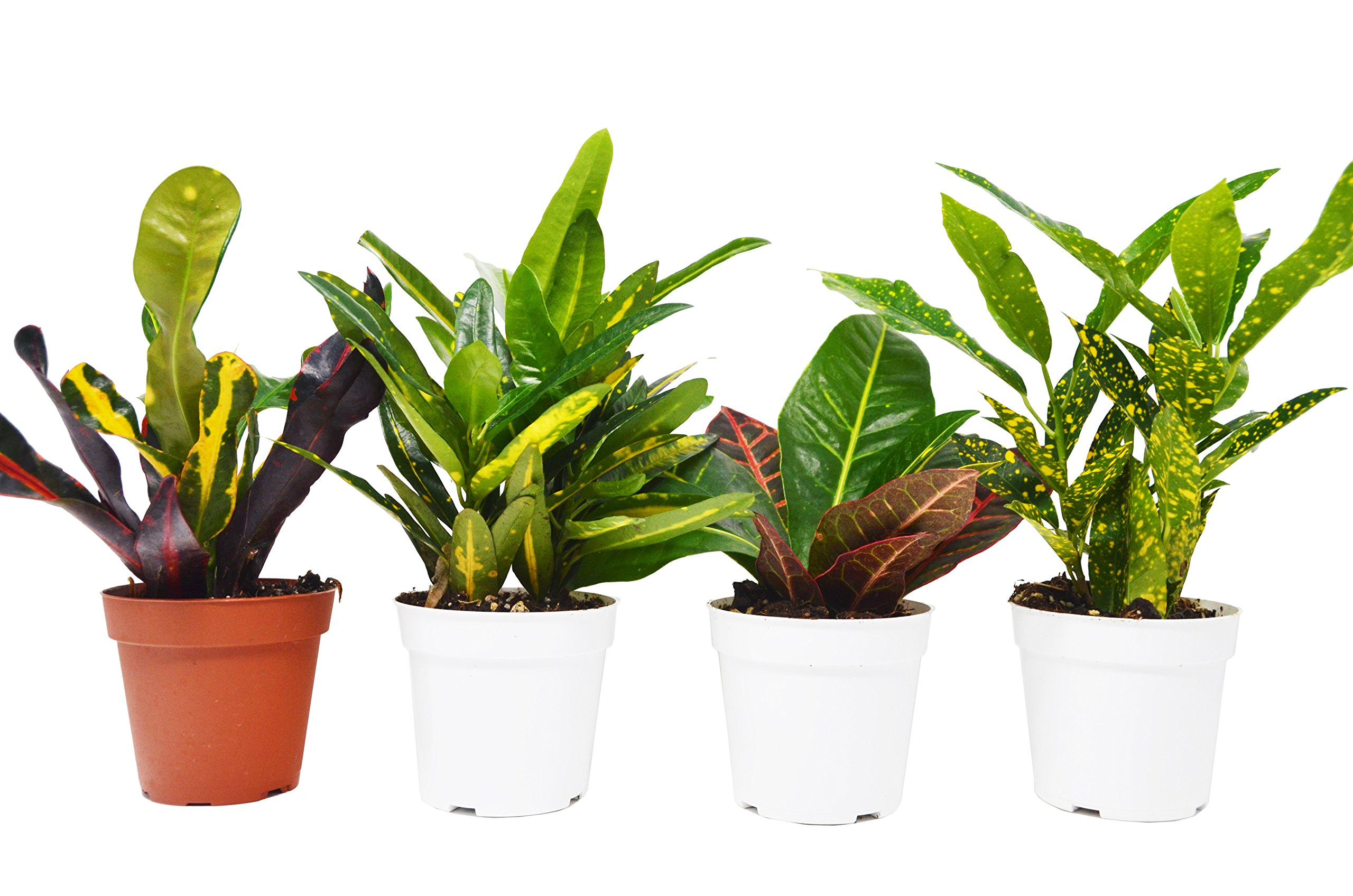 4 Croton Plant Variety Pack - All Different Species - Live Plants - FREE Care Guide - 4'' Pot