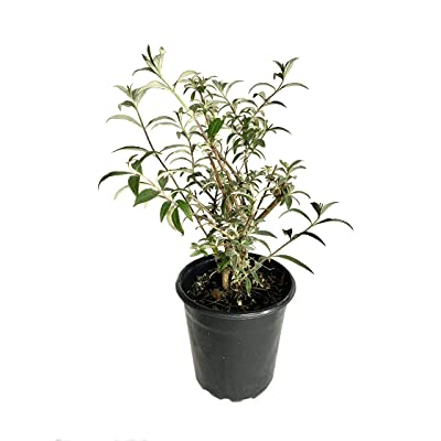 Black Knight Butterfly Bush - Live Plant in a 6 Inch Pot - Buddleia Davidii Black Knight - Deciduous Flowering Shrub : Garden & Outdoor
