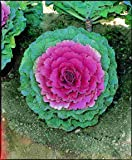 "(AKA)~""PIGEON PURPLE"" FLOWERING KALE""~Seed!~~~~~~Stately Shorter Variety!"