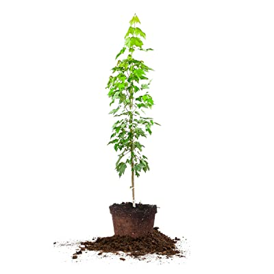 Perfect Plants Brandywine Maple Tree Live Plant, 4-5ft, Includes Care Guide : Garden & Outdoor