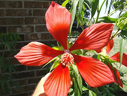 Amazoncom Red Star Of Texas Hibiscus New Crop Beautiful