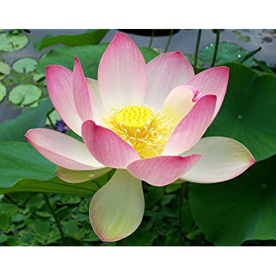 Nelumbo nucifera | Sacred Water Lotus | 5_Seeds : Garden & Outdoor