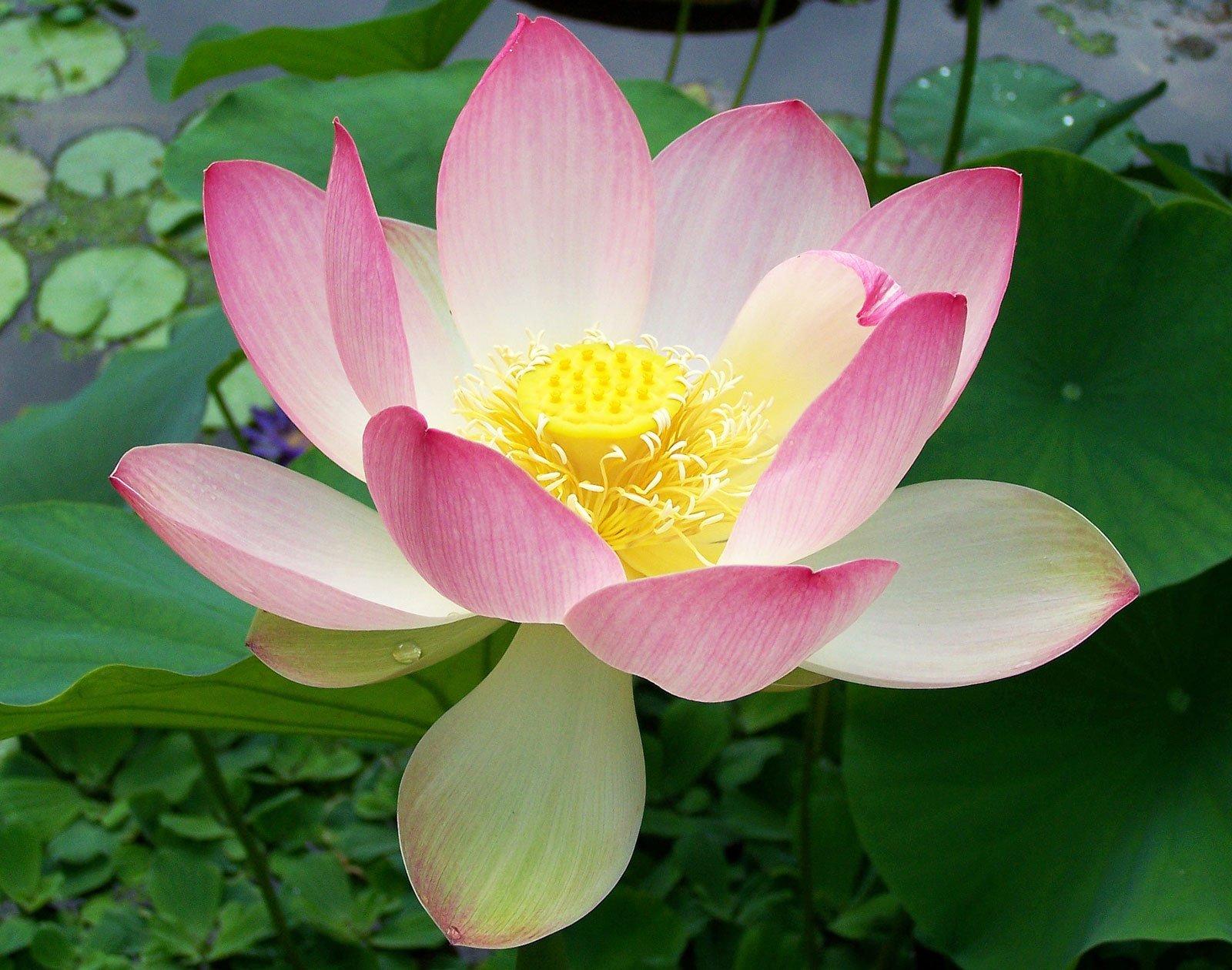 Nelumbo nucifera   Sacred Water Lotus   5_Seeds