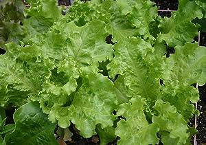 Black-Seeded Simpson Lettuce Seeds- 1,000+ Seeds- Heirloom Variety