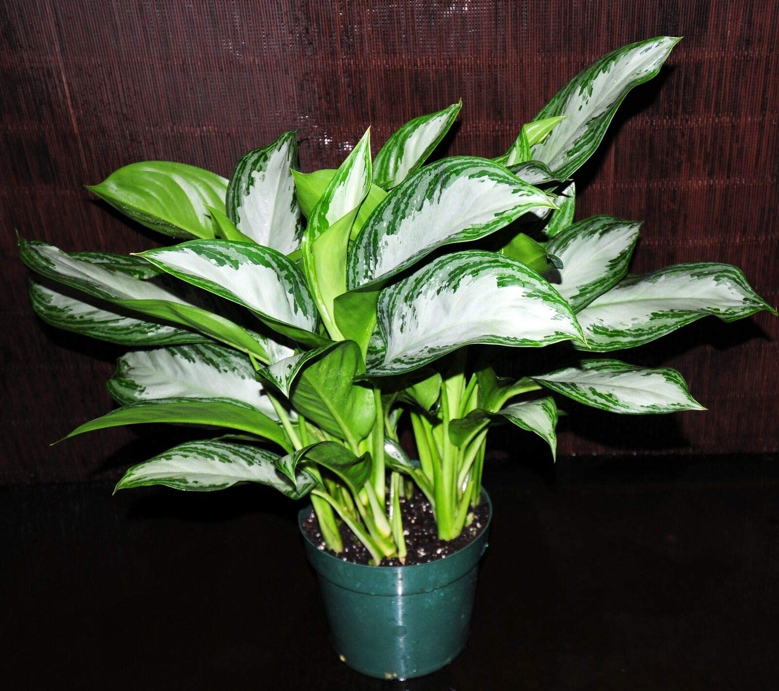 Aglaonema Silver Bay Very Large Plant in 8'' Pot Chinese Evergreen Tropical Plant (Premium Quality) by AY-Premium