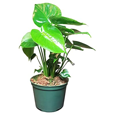 Philodendron Swiss Cheese Plant in 6 inch Grower Pot : Garden & Outdoor