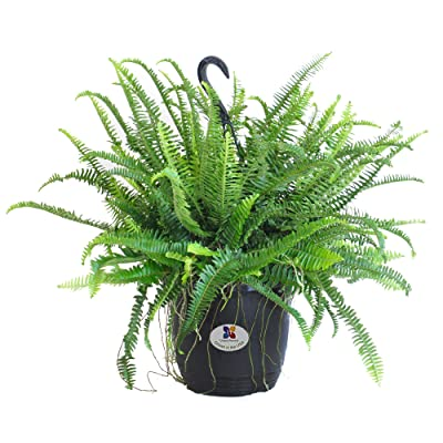 """United Nursery Kimberly Fern, Live Indoor and Outdoor House Plant. 26"""" Shipping Size. Shipped Fresh in Grower Pot from Our Florida Farm : Garden & Outdoor"""