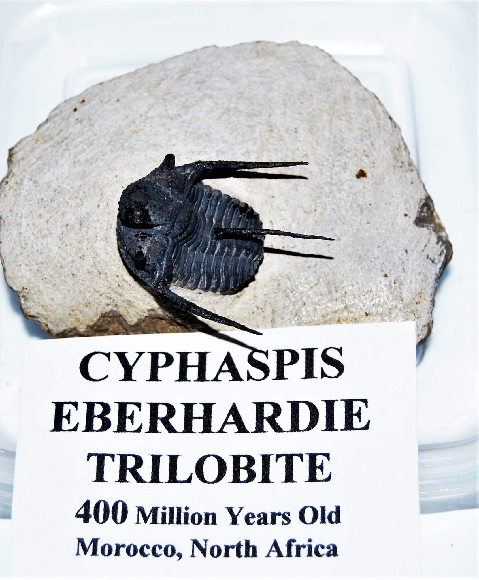 Cyphaspis Eberbardiei Trilobite Fossil Morocco 390 Mil Years Old #14327 15o
