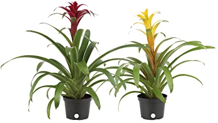 Costa Farms Blooming Bromeliad, Live Indoor Plant, Grower's Choice,  Assorted Colors - Red, Pink, Orange, Yellow, Ships in 6-Inch Grower Pot,  2-Pack,