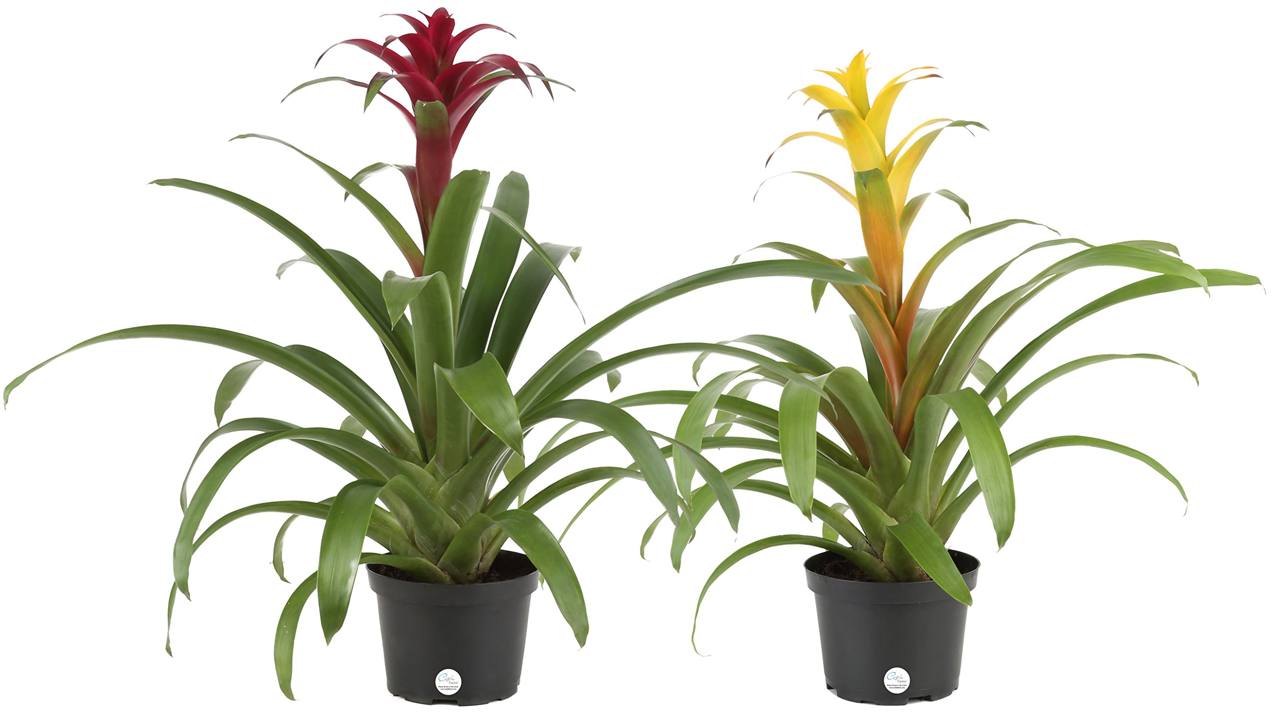Costa Farms Live Bromeliad Indoor Tabletop Plant, 2-Pack in 6-Inch Grower's Pot, Grower's Choice - Red, Pink, Orange, Yellow