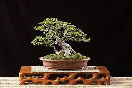 50 Bodhi Tree Seeds Ficus Religiosa Sacred Fig Bonsai Bkseeds
