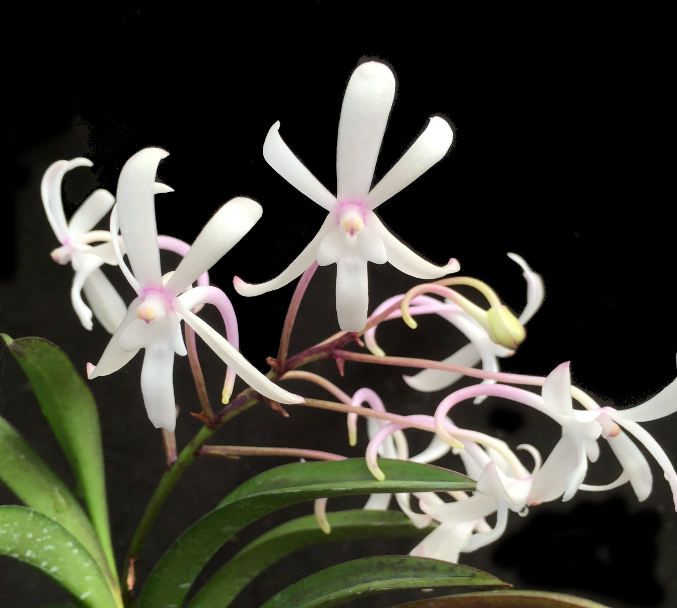Orchid Insanity -- The Bionic Orchid -- Better Stronger Faster Neofinetia hybrid fragrant blooms flowers 2X per year excellent beginners orchid easy