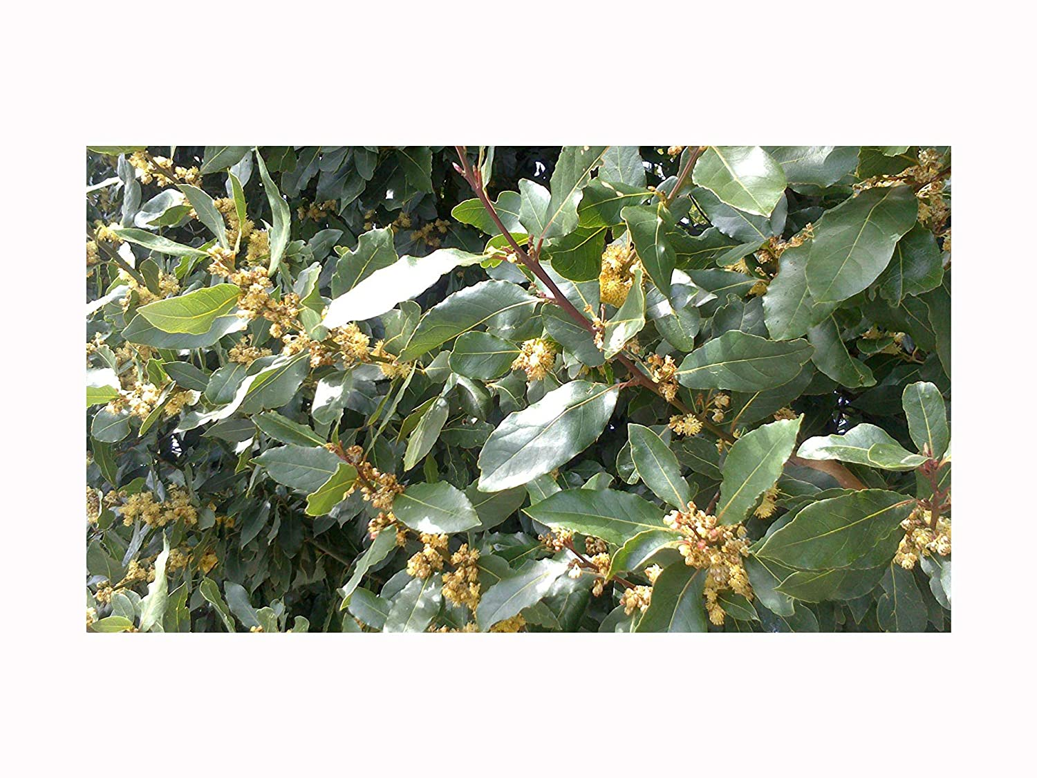 BAY LAUREL Laurus nobilis 1 year old strong plant in 7cm pot -evergreen tree with aromatic leaves